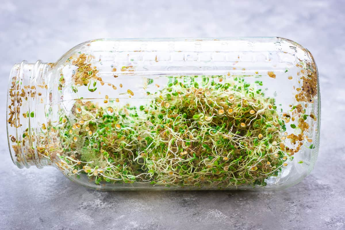 Image shows how to grow alfalfa sprouts at home. A large mason jar sits on its side filled with sprouting alfalfa seeds.