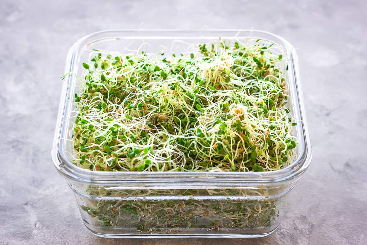 An image showing how to grow alfalfa sprouts at home shows a square glass food storage container filled with green alfalfa sprouts on a grey background.
